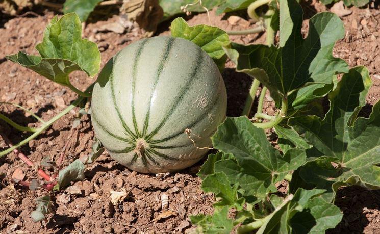 Melone<br> Coltivazione BIO