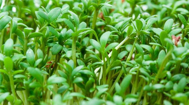 Crescione <br> Coltivazione BIO
