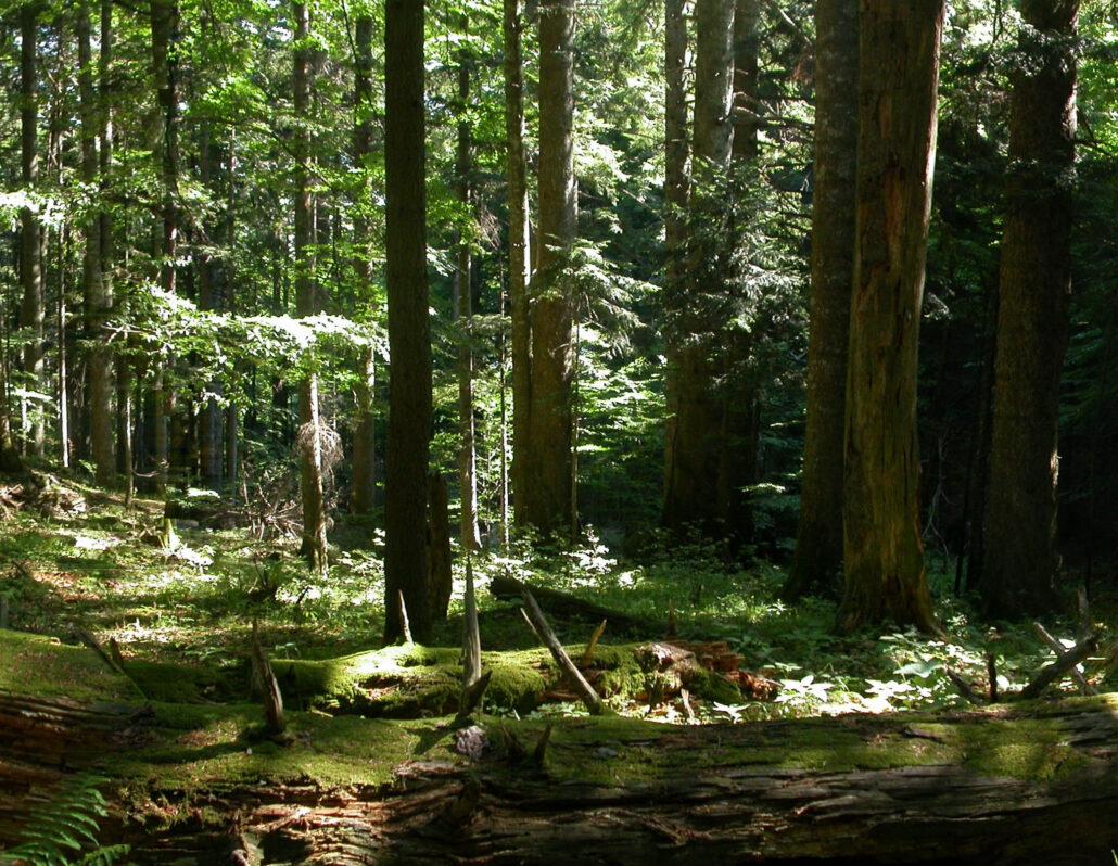 Foreste di faggio antiche e primordiali dei Carpazi e di altre regioni d'Europa