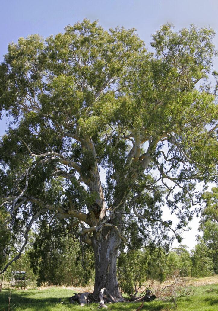 Eucalipto rosso, Eucalyptus camaldulensis