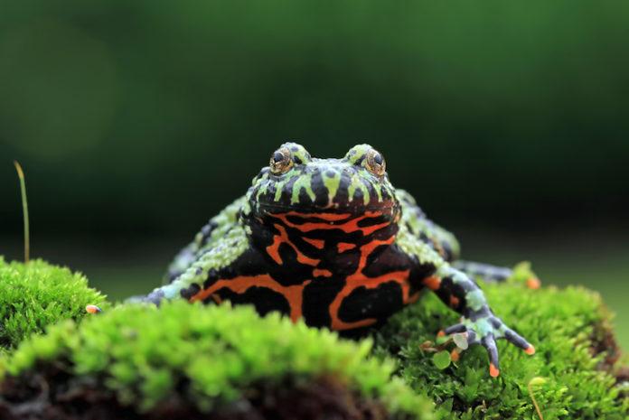 La rana Bombina orientalis